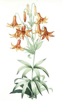 Lilium Penduliflorum, Lis à Fleurs Pendantes Art Print