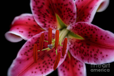 Photograph - Lilium Pink Stargazer by Sharon Mau