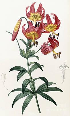 Lilium Painting - Lilium Superbum by Pierre Joseph Redoute