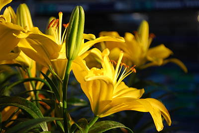 Photograph - Lillies Of Gold by Billie Colson