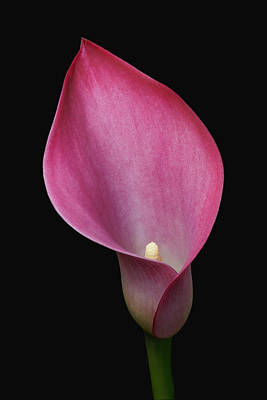Tulip Pics Photograph - Lily On Black by David Schleiss