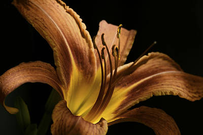 Digital Art - Lily Aglow by Linda Segerson