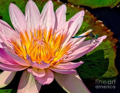 Photograph - Lily And Dragon Fly by Nick Zelinsky