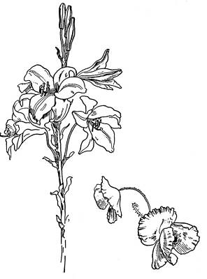Poppies Drawing - Lily And Poppy Flower Line Drawing by