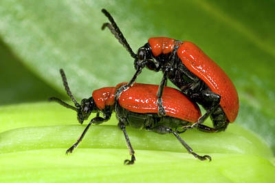 Copulation Photograph - Lily Beetles Mating by Nigel Downer