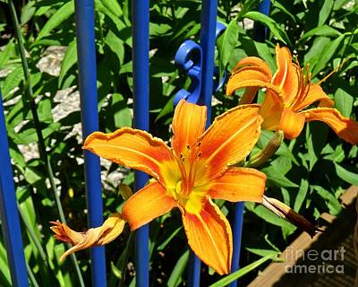 Photograph - Lily By The Blue Gate  by Nancy Patterson