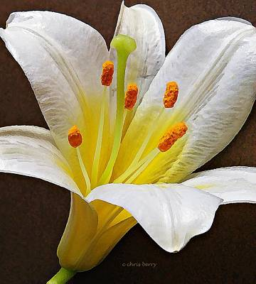 Photograph - Lily  by Chris Berry
