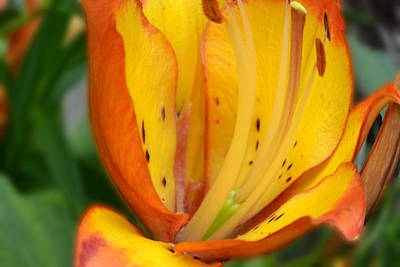 Photograph - Lily - Close Up by Bob Gross