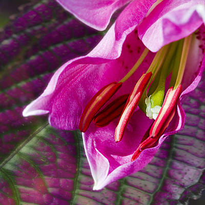 Composite Photograph - Lily Fantasy by Barbara Smith