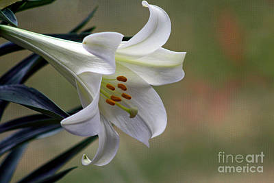 Photograph - Lily Flower by Karen Adams