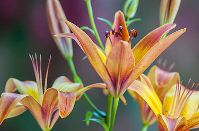 Lily From The Garden Art Print
