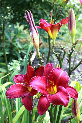 Photograph - Lily In The Garden by Barbara Giordano