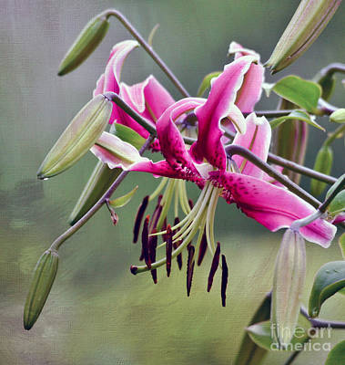 Photograph - Lily In The Pink  by Kerri Farley