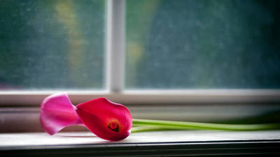 Photograph - Lily In Window by Tammy Smith