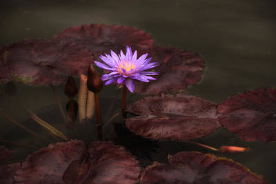 Photograph - Lily At Dusk by Jessica Jenney