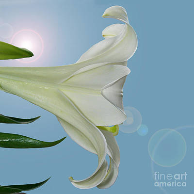 Lily Light Art Print by Karen Adams