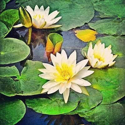 Lilies Wall Art - Photograph - #lily #lilies #pad #lilypads by Jill Battaglia