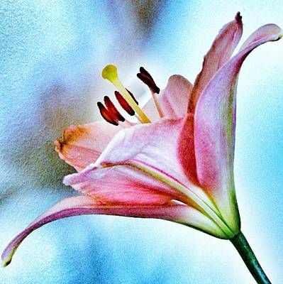 Lilies Royalty-Free and Rights-Managed Images - Lily by Marianna Mills