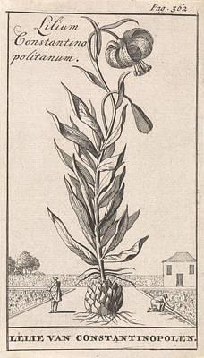 Constantinople Drawing - Lily Of Constantinople, Caspar Luyken, Jan Claesz Ten Hoorn by Caspar Luyken And Jan Claesz Ten Hoorn