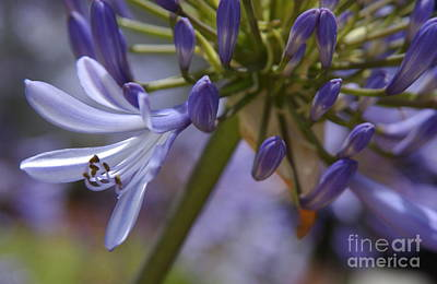 Blue Lily Of The Nile Photograph - Lily Of The Nile In Pacific Beach by Anna Lisa Yoder