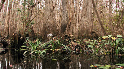 Photograph - Lily Of The Swamp by Peg Urban