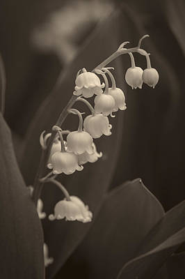 Photograph - Lily Of The Valley 2 - Albumen by Wayne Meyer