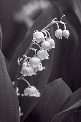 Photograph - Lily Of The Valley 2 - Bw by Wayne Meyer
