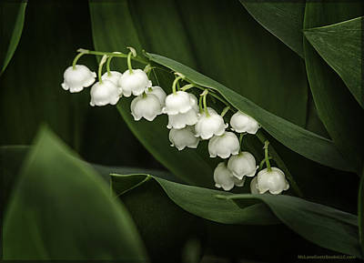 Photograph - Lily Of The Valley Aka Mary's Tears by LeeAnn McLaneGoetz McLaneGoetzStudioLLCcom