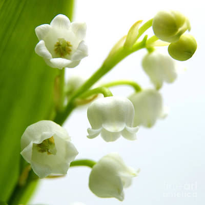 The Beauty Of Nature Photograph - Lily Of The Valley by Bernard Jaubert