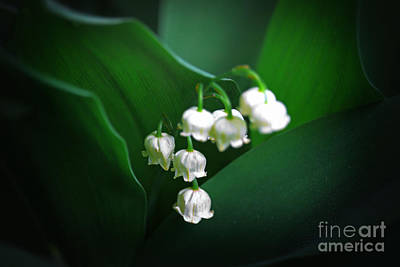 Photograph - Lily Of The Valley by Charline Xia