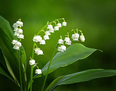 Photograph - Lily Of The Valley by Carolyn Derstine