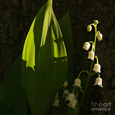 Photograph - Lily Of The Valley In Shadow by Anna Lisa Yoder