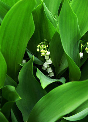Photograph - Lily Of The Valley by Michael Friedman