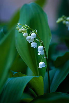 Lily Of The Valley Art Print by Wayne Meyer