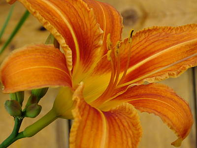 Photograph - Lily On Pine by Gene Cyr