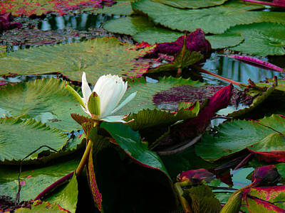 The Sewing Room Photograph - Lily On The Pond by Susan Duda