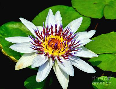 Photograph - Lily On The Water by Nick Zelinsky