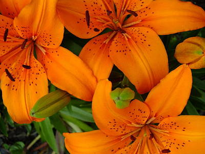 Photograph - Lily Orange by Gene Cyr