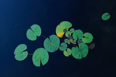 Lily Pad 2 Art Print by Steven Clipperton