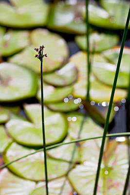 Photograph - Lily Pad Abstract 1 by Rebecca Cozart