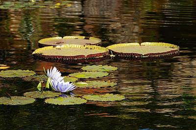 Photograph - Lily Pad by Kathy Churchman