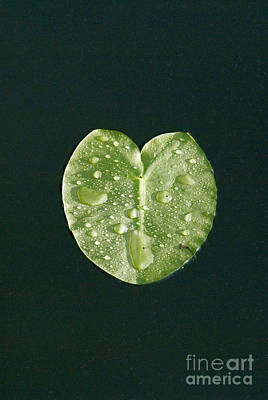 Photograph - Lily Pad by Mark Newman