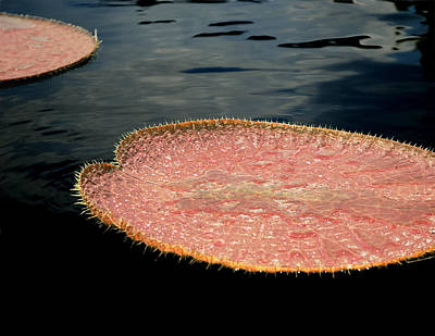 Photograph - Lily Pad by Robert Culver