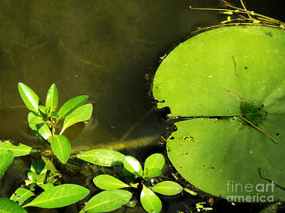 Photograph - Lily Pad by Robyn King