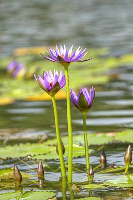 Rowboat Digital Art - Lily Pads At Central Park by Geraldine Scull