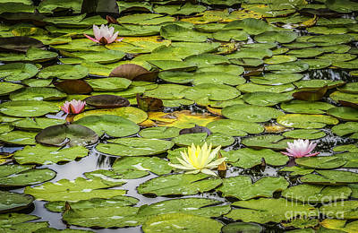 Photograph - Lily Pads II by David Waldrop