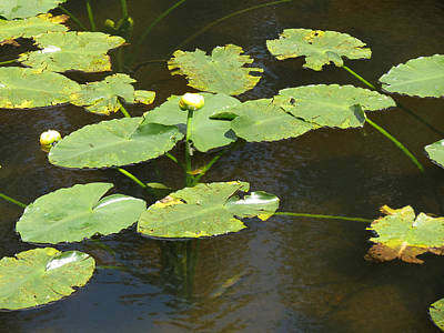 Photograph - Lily Pads by Laurel Powell