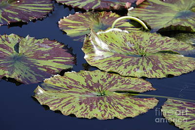 Lilies Photograph - Lily Pads On Calm Pond by Carol Groenen