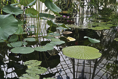 Photograph - Lily Pads by SC Heffner