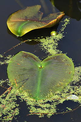 Photograph - Lily Pads by Steven A Bash